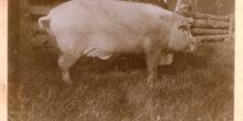 Facet to świnia albo z albumu przodków
